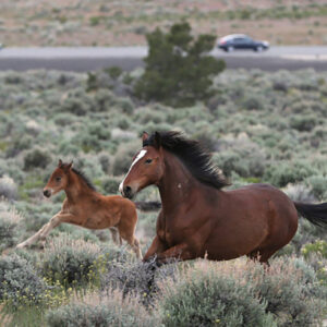 letter:-the-blm-and-wild-horses